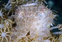 juvenile Broadclub cuttlefish, Sepia latimanus, Lembeh Straight, Sulawesi, Indonesia, Pacific Ocean