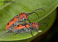 0624-07yy  Red Milkweed Beetle - Tetraopes tetrophthalmus - © David Kuhn/Dwight Kuhn Photography