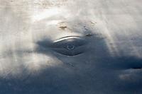 Sperm Whale Eye, Physeter macrocephalus, Caribbean Sea, Dominica, Atlantic