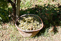 Raccolta dell'uva ai vigneti dei signori Franchini presso Montescano (Pavia) nell'Oltrepò Pavese. Cesta d'uva bianca --- Grape harvest at Franchini's vineyards near Montescano (Pavia) in the Oltrepò Pavese. Basket of white grapes