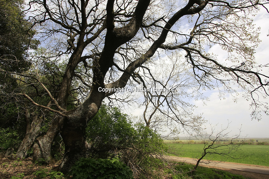 The Golan Heights, Oak trees in the Circassian cemetery near Marom Golan