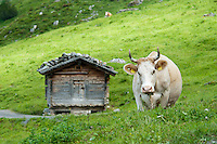 Interlaken, Switzerland, June 2012. Cows and alpine lifestyle on the Alp between Grindelwald and Jungfraujoch. The train to the Jungfraujoch runs through a tunnel in de Eiger mountain and will lead to spectacular views of the Jungfrau. By taking the train to reach the highest railway stations of Europe, we get the trailheads for some spectacular high alpine hikes. Photo by Frits Meyst/Adventure4ever.com