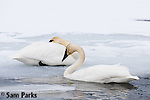 Trumpeter swan pair in winter. National Elk Refuge, Wyoming.