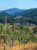 Grape vineyard, Panzano in Chianti, Ital