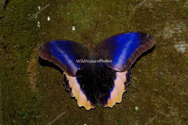 The Caligo (Owl) Butterfly, Caligo atreus, opens its wings to reveal its beautiful colors;Costa Rica