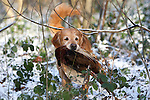Pix: Shaun Flannery/shaunflanneryphotography.com...COPYRIGHT PICTURE>>SHAUN FLANNERY>01302-570814>>07778315553>>..19th December 2009................Brodsworth Shoot..A Golden Retriever with Pheasant.