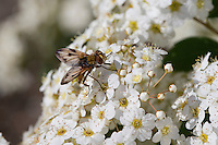 Breitflügelige Raupenfliege, Breitflüglige Raupenfliege, Männchen, Blütenbesuch, Ectophasia crassipennis, Tachinid Fly, male, Tachina fly, Tachinidae, Raupenfliegen, Igelfliegen, Schmarotzerfliegen, tachinids, parasitic flies