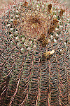 Arizona barrel cactus, Ferocactus wislizenii. Saguaro National Park, Arizona