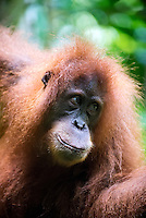 Female Sumatran orangutan (Pongo abelii) is one of the two species of orangutans. Found only on the island of Sumatra in Indonesia, it is rarer than the Bornean orangutan. Gunung Leuser National Park, Bukit Lawang - Northern Sumatra Indonesia.