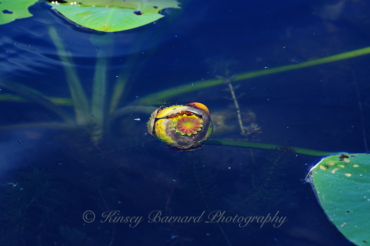 Partially submerged water lily bud in blue waters.