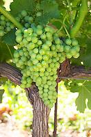 Unripe grapes. Domaine Enclos de la Croix, Languedoc, France