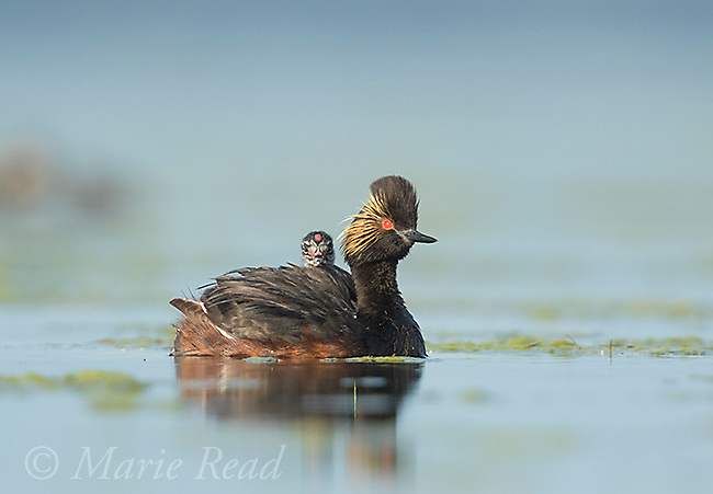 Eared Grebes (Podiceps nigricollis), swimming adult with chick riding on its back, Bowdoin National Wildlife Refuge, Montana, USA