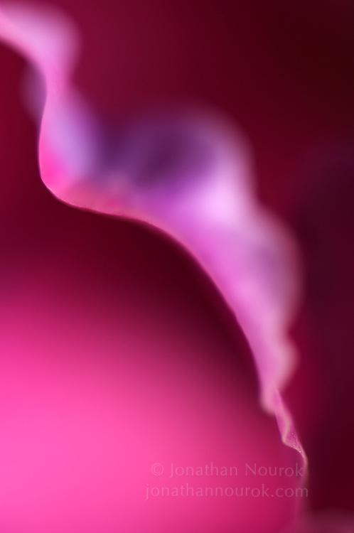 close-up of a pink gladiola flower