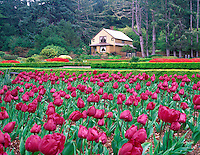 V00288M.tif   Blooming tulips and visitors center at Shore Acres State Park Gardens, Oregon