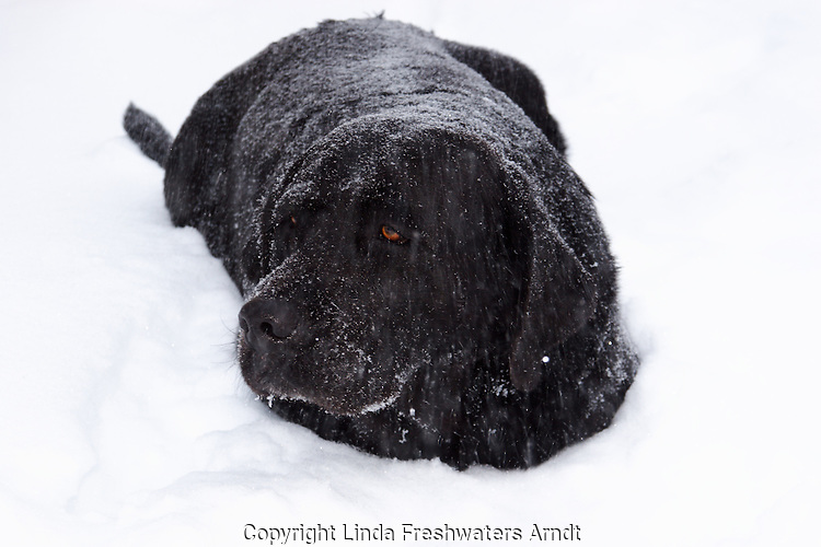 Black Labrador retriever (AKC) looking cold and uncared for lying in the snow.  Winter, WI.