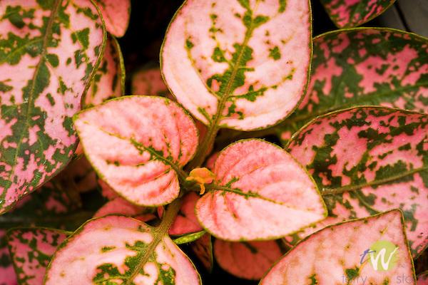 Hypoestes, pink splash select leaf.