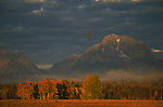 A flock of Canada Geese fly above the autumn foliage, backdropped by Mount Moran.