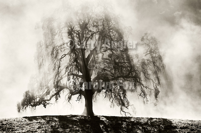 Clearing fog, bare oak tree on hilltop in winter, Mokelumne Hill, Calaveras County, Calif.