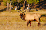 Bull Elk Bugling at Sunset, Norris Junction, Yellowstone National Park, Wyoming