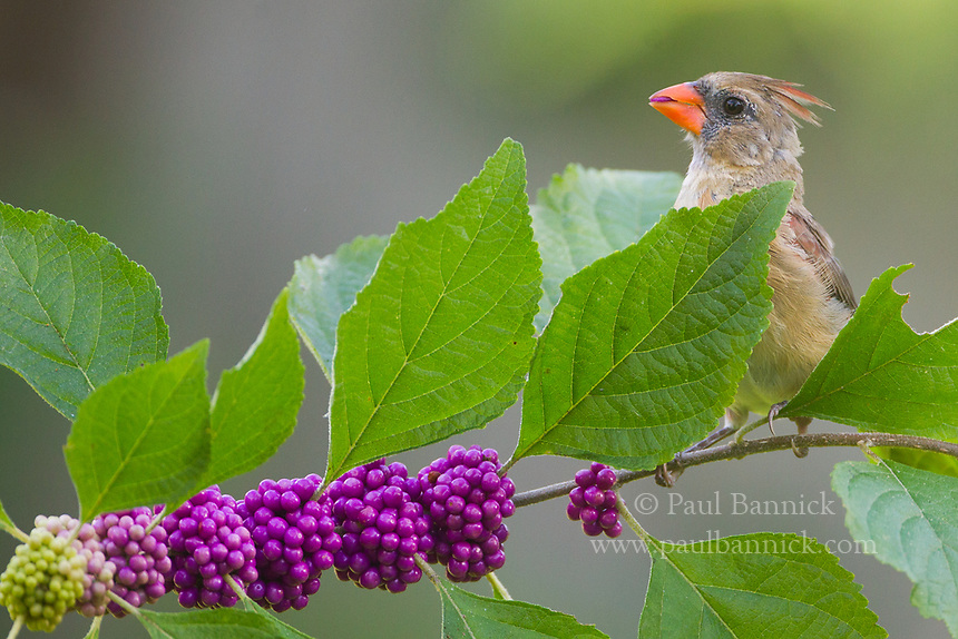 A juvenile Northern Cardinal feeds upon xx berries