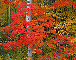 Apostle Islands NL, WI<br /> Red Maple (Acer rubrum) branches in fall color wrap around a white birch trunk at a forest margin near Sand Bay