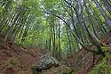 Beech woodland growing on steep mountainside, a favourite habitat of the Alpine Salamander {Salmandra atra}. Triglav National Park, Julian Alps, Slovenia, July.