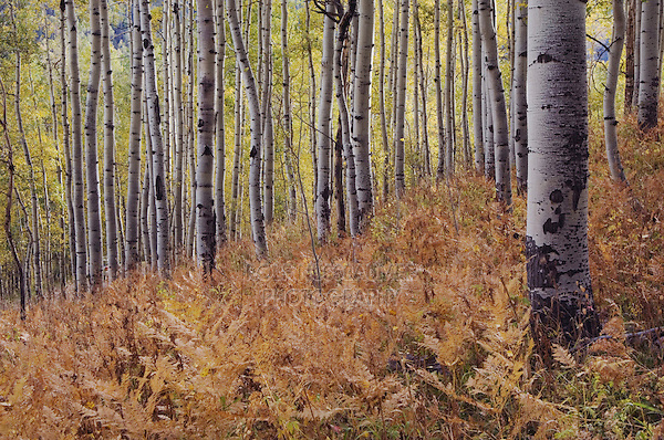 Fern in Aspen forest with fall colors, Uncompahgre National Forest, Colorado, USA, September 2007