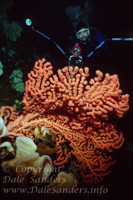 Diver photographing  Gorgonian Coral (Paragorgia Pacifica) deep underwater in Agamemnon Channel on the Sunshine Coast of British Columbia, Canada.