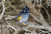 New Holland Honeyeater (Phylidonyris novaehollandiae campbelli) foraging on Kangaroo Island, South Australia, Australia.