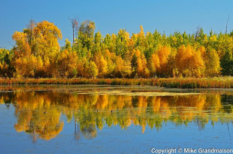 Autumn reflection in aspen forest<br /> Elk Island National Park<br /> Alberta<br /> Canada