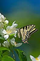 Western Tiger Swallowtail (Papilio rutulus).  Pacific Northwest.