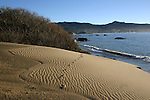 Tracks in dunes at Ano Nuevo SR