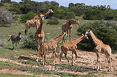 Bob, ANIMALS, REALISTISCHE TIERE, ANIMALES REALISTICOS, wildlife, photos+++++,GBLA3910,#a#, EVERYDAY ,giraffe,giraffes