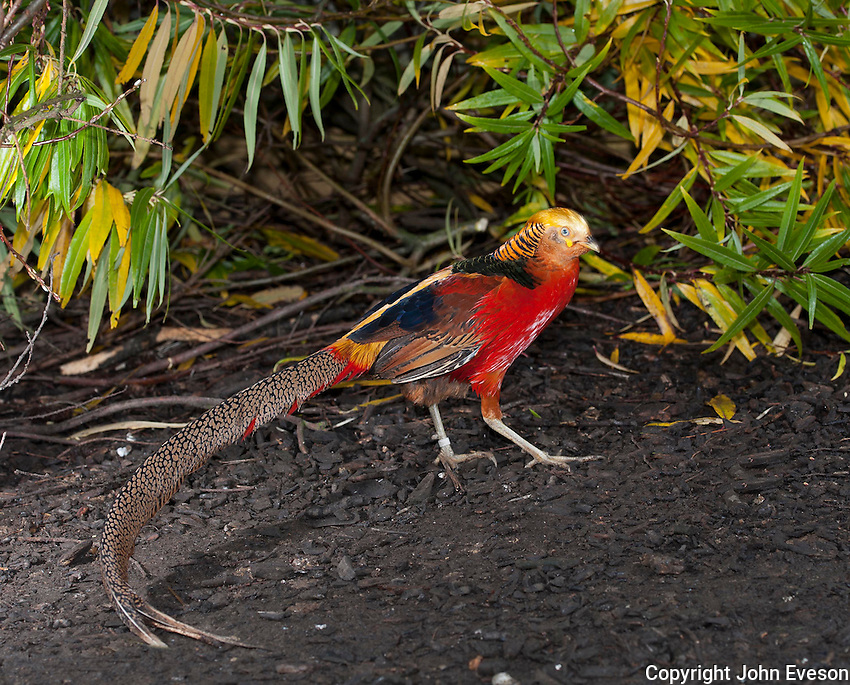 Golden Pheasant or Chinese Pheasant (Chrysolophus pictus), Whitewell,, Lancashire.