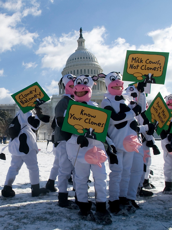 """More than a 100 cow-costumed marchers paraded through the streets of Washington on their way to the Capitol on Wednesday, Feb. 7, 2007. The """"Truth or Clone-sequences"""" event organized by Ben and Jerry's was held to call attention to the US Food and Drug Administration considering to allow meat and milk from cloned animals into the nation's food supply."""