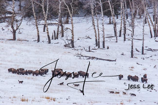 Wolves hunting bison