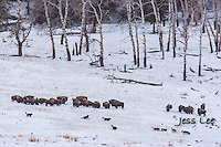 Wolves hunting bison