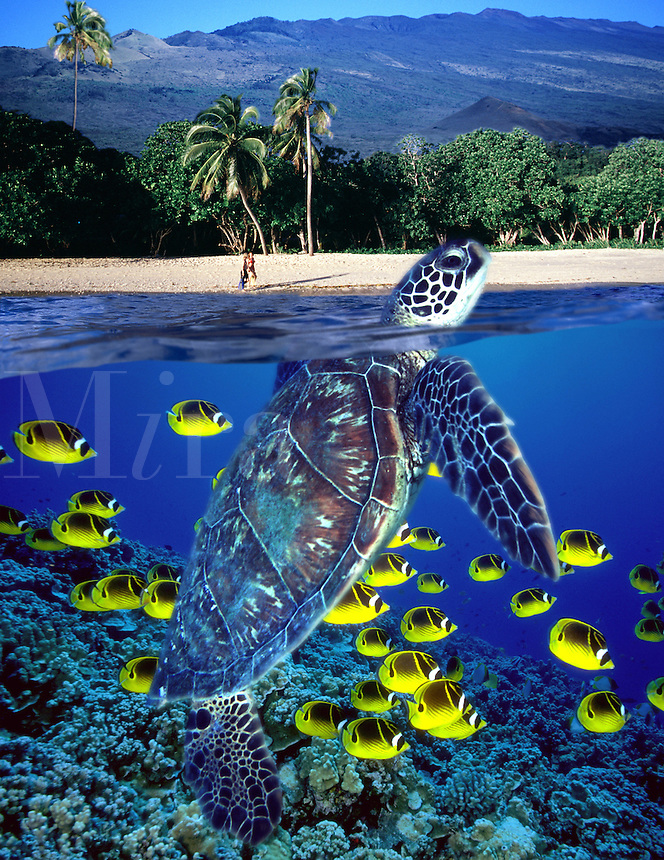 The green sea turtle, Chelonia mydas, and schooling raccoon butterflyfish, Chaetodon lunula, were photographed off Maui, and the above water view of the couple (MR) on the beach and the island of Maui was also added. Hawaii  (Digital Composite)