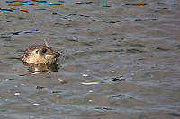 With only its head visible, a harbor seal bobs in the water at Bean Hollow State Beach.