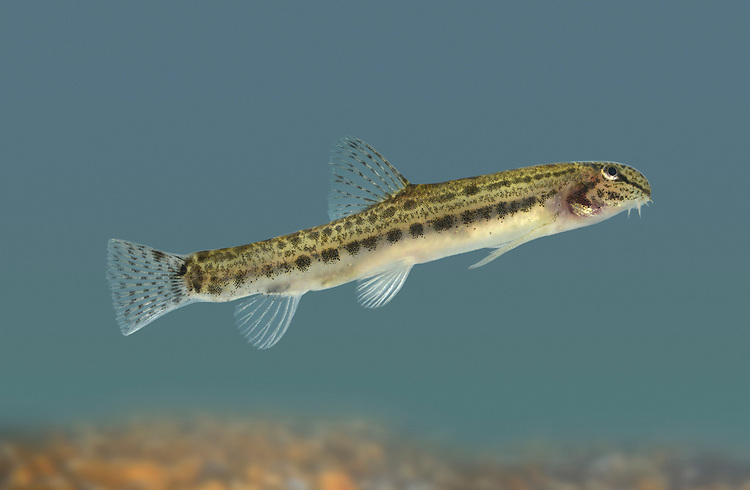 Spined Loach - Cobitis taenia