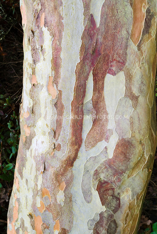 Stewartia pseudocamellia tree trunk bark in beautiful patterns and markings