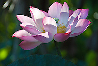 Wide open pink lotus flower with soft white inside