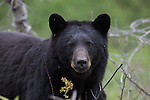 WILDLIFE / Bears - Black Bear Photography