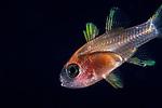 Cardinalfish larval