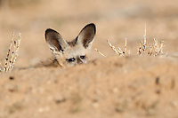 Bat-eared fox pup peeping from burrow