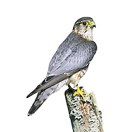Merlin - Falco columbarius - adult male. W 60-65cm. Our smallest raptor. Typically seen dashing flight, low over in pursuit of prey such as Meadow Pipit. Also perches on fence posts or rocky outcrops. Sexes are dissimilar. Adult male has blue-grey upperparts and buffish, streaked and spotted underparts. In flight from above, note contrast between blue-grey back, inner wings and tail, and dark wing tips and dark terminal band on tail. Adult female has brown upperparts and pale underparts with large, brown spots. In flight from above, upperparts look rather uniformly brown with numerous bars on wings and tail. Juvenile resembles adult female. Voice Mostly silent but shrill kee-kee-kee… is uttered in alarm near nest. Status Scarce breeding season, found on upland moorland in spring and summer. Outside breeding season, moves S and to lowland areas and numbers boosted by migrants from Iceland.