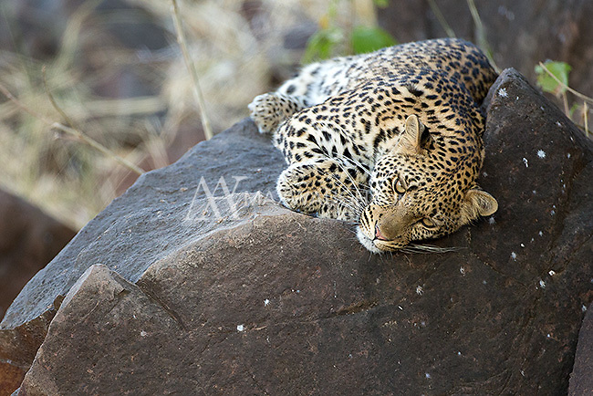 We were fortunate to see a few leopards at Mashatu Game Reserve in Botswana.