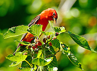 Adult male scarlet tanager in breeding plumage eating mulberries