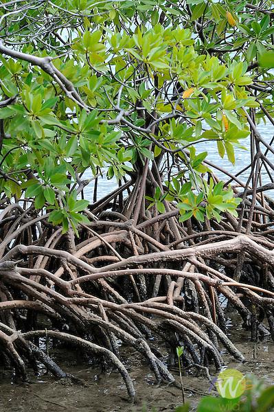 St. John, British Virgin Islands, Round Bay Mangrove roots.