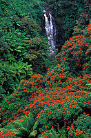 Hamakua Coast rainforest. Waterfall nestled in palm and tulip trees.